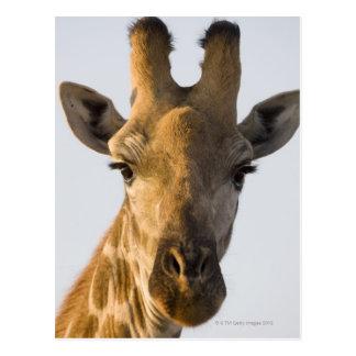 Porträt der Giraffe (Giraffa camelopardalis) Postkarten