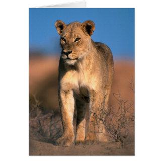 Porträt der Löwin (Panthera Löwe) Karte