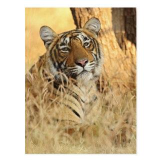 Porträt des königlichen bengalischen Tigers, Postkarte