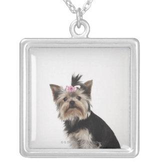 Porträt eines Hundes Yorkshires Terrier Versilberte Kette