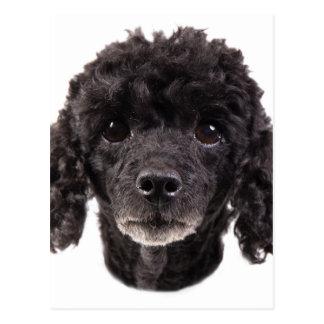 Porträt eines schwarzen Pudels Postkarten