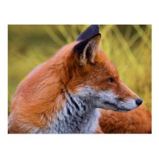 Porträtroter Fox im wilden Postkarte