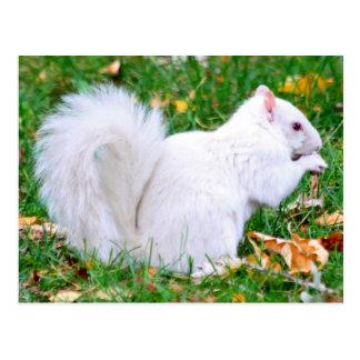 Postkarte - Albino-Eichhörnchen
