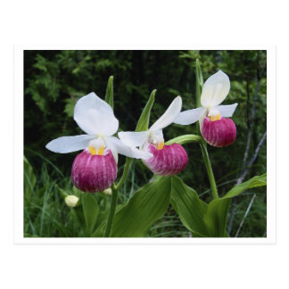 Postkarte-Dame Pantoffel Orchidee Postkarte