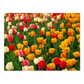 Postkarte der Tulpe-5