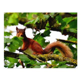 Postkarte des roten Eichhörnchens