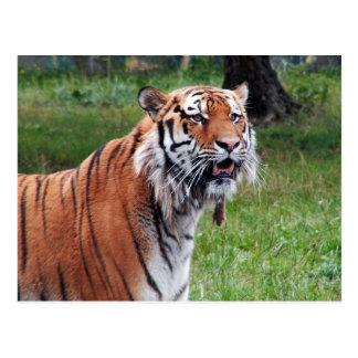 Postkarte des sibirischen Tigers