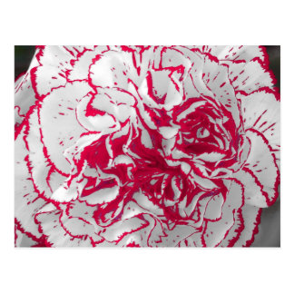 Postkarte - Gartennelke in Rotem u. in weißem