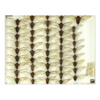 Postkarte mit Zikaden