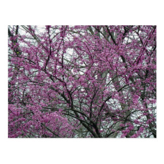 Postkarte, reifer Redbud Baum in der Blüte Postkarte