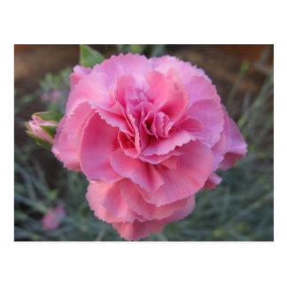 Postkarte--Rosa Gartennelke Postkarte