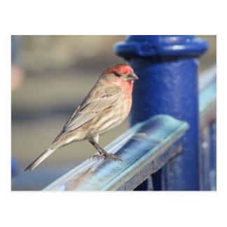 Postkarte - roter Spatz auf blauem Zaun