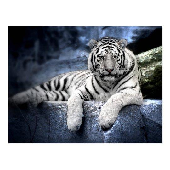 Postkarte: Weißer Tiger / white tiger Postkarte