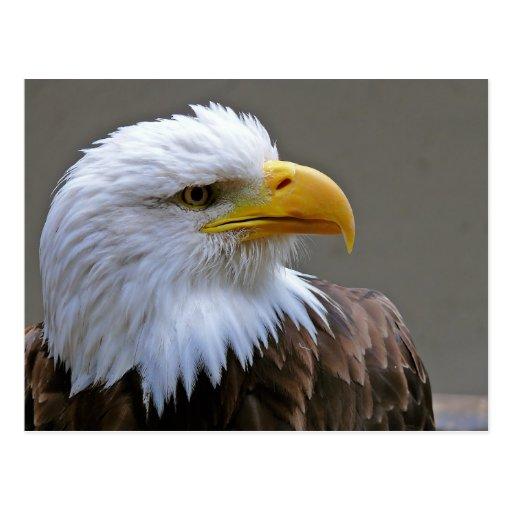 Postkarte Weißkopfadler Adler