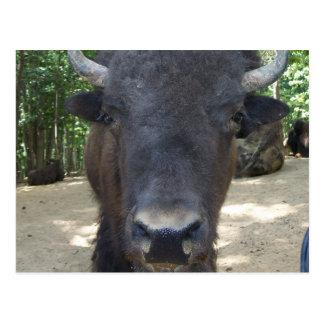 Postkarten-Büffel Postkarte