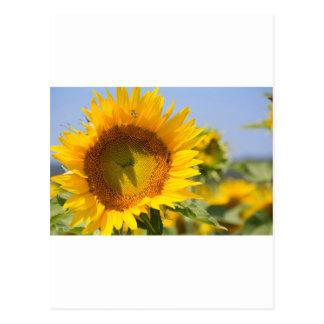 Prachtvolle Sonnenblumen! Postkarte