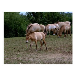 Przewalskis Pferde Postkarte