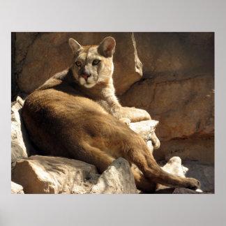 Puma auf den Felsen Poster