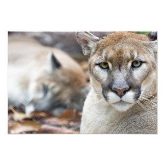 Puma, Berglöwe, Florida-Panther, Puma Fotos