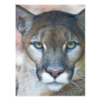 Puma, Berglöwe, Florida-Panther, Puma Postkarte