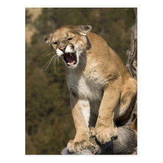 Puma oder Berglöwe, Puma concolor, Gefangener - Postkarte