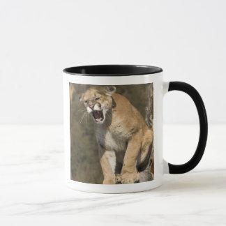 Puma oder Berglöwe, Puma concolor, Gefangener - Tasse