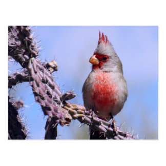 Pyrrhuloxia-Wüsten-Kardinal Postkarte