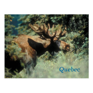 Quebec-Stierelchpostkarte Postkarte