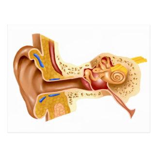 Querschnitt des menschlichen Ohrs Postkarte