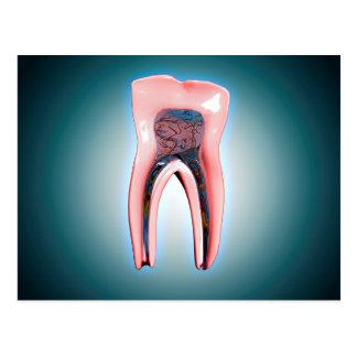 Querschnitt eines menschlichen Zahnes Postkarte
