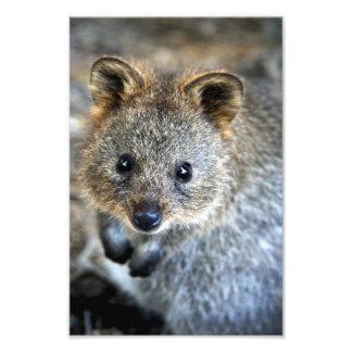 Quokka Western-australisches Beuteltier Photographischer Druck