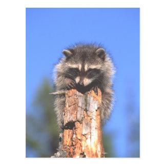 Racoon auf Stumpf Postkarte