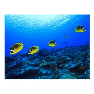 RacoonButterflyfish Chaetodon Lunula), Nord Postkarte