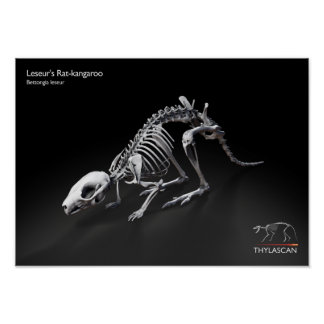 Ratten-Känguru-Plakat Poster