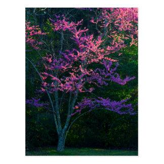 Redbud Baum am Sonnenuntergang Postkarte