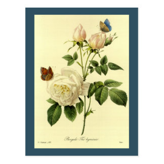 Redoute Illustrations-bengalische Rose Hymanee Postkarte