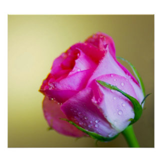Regen-Tropfen-Küsse der Natur auf rosa Rose Poster