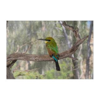 Regenbogen Bieneesser Vogel, Australien Acryldruck