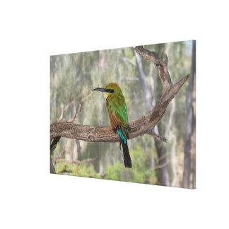Regenbogen Bieneesser Vogel, Australien Leinwanddruck