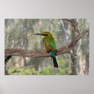 Regenbogen Bieneesser Vogel, Australien Poster