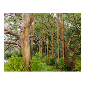 Regenbogen-Eukalyptus. Maui, Hawaii Postkarte