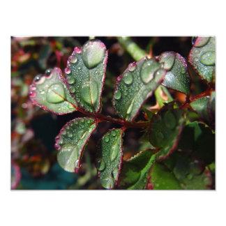 Regentropfen auf Rosenbaum-Blätter Kunst Photo