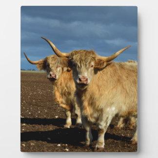 Rehbraune Hochland-Kühe, Fotoplatte