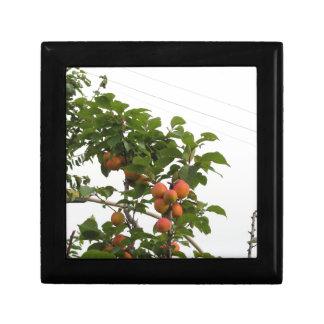 Reife Aprikosen, die am Baum hängen. Toskana, Erinnerungskiste