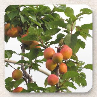 Reife Aprikosen, die am Baum hängen. Toskana, Getränkeuntersetzer