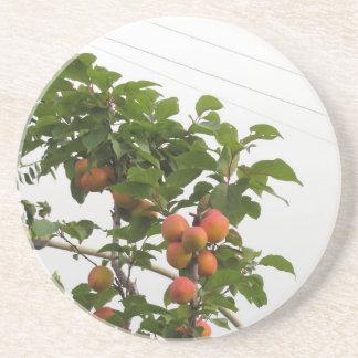 Reife Aprikosen, die am Baum hängen. Toskana, Sandstein Untersetzer
