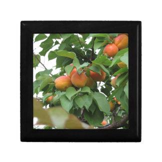 Reife Aprikosen, die am Baum hängen. Toskana, Schmuckschachtel