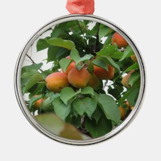 Reife Aprikosen, die am Baum hängen. Toskana, Silbernes Ornament