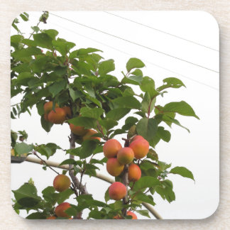Reife Aprikosen, die am Baum hängen. Toskana, Untersetzer