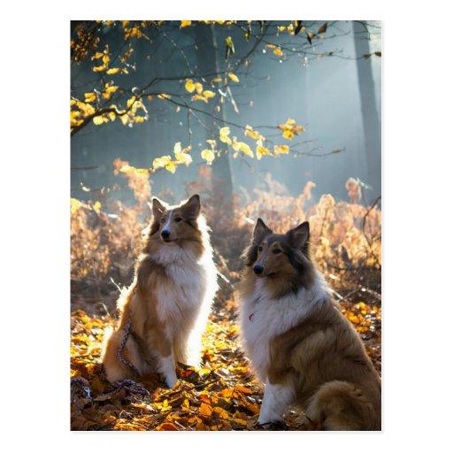 Reizender Collie-Hund Postkarten
